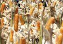 Sumbawa Pantas Jadi Sentra Pakan Ternak Nasional